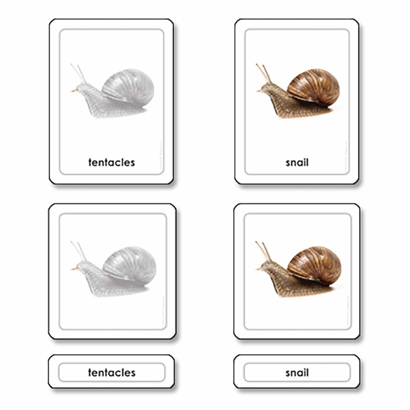Parts Of A Snail (Mollusk)
